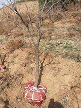 找精品柿子树选择运城山楂树种植基地图片