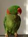 销售观赏鹦鹉虎皮鹦鹉和尚鹦鹉金刚鹦鹉
