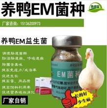 怎样给雏鸭提高成活率高点使用益生菌?