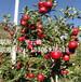 临沂苗木批发超市、特供纯度高短枝矮化苹果苗