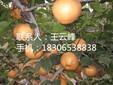短枝矮化苹果苗、短枝矮化桃苗兴峰苗木