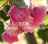 点赞最高的白兰地海棠苗价格是多少?图片
