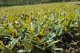 临沂苗木、春季小水苗、甜茶小水苗、木瓜小水苗出售