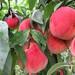 晚熟桃苗、玉红巨雪桃苗、沂蒙霜红桃苗、映霜红桃苗