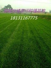 找便宜草坪就来世博草坪基地、早熟禾草坪价格、绿化草坪价格图片
