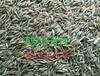 草坪销售、草籽价格、冷季型草坪