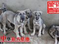 深圳哪里有卖狼青犬的黑狼犬图片