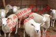 傻吃肥保肉羊专用功能性益生菌