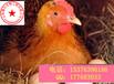 蛋禽饲料添加剂提高蛋壳质提高产蛋率