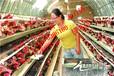 治療蛋殼薄加深蛋殼顏色蛋禽飼料添加劑招代理