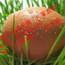 蛋鸡加深蛋壳颜色饲料原料改善蛋壳颜色