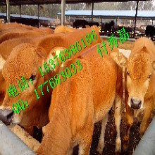 治疗夏季肉牛采食量不高减少肉牛夏季热应激专用添加剂
