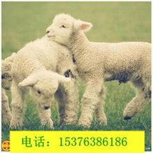 育肥羊饲料添加剂增强羊食欲调理肠道