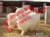 山羊饲料添加剂饮水益生菌