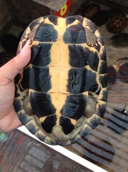 东莞地区出售自家养殖11,10年南石龟一批