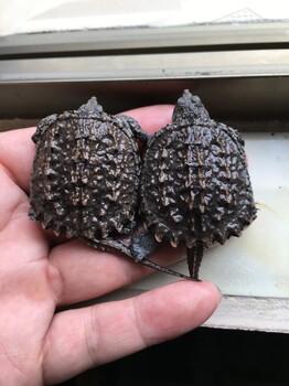 鳄龟苗,种龟