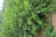 桃树苗种植基地哪家最有实力桃树苗今年什么价格