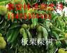山东林泽园艺优质板栗苗板栗种植技术产地直发
