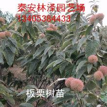 山东林泽园艺泰山板栗正宗泰山板栗优质品种产量好易管理图片