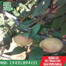 桃树苗价格批发桃树苗供应哪有卖桃树苗新管理技术图片