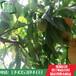 山东林泽苗木优质桃树苗桃树种植技术基地种植量大优惠