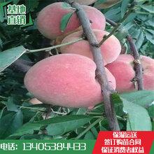 山东林泽园艺优质桃树苗产地直销桃树苗各类品种齐全桃树苗种植技艺图片