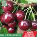 山东林泽苗木优质樱桃苗樱桃种植技术基地种植量大优惠