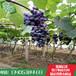 山东林泽苗木优质葡萄苗葡萄种植技术基地种植量大优惠