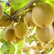 山东林泽园艺优质猕猴桃苗猕猴桃种植技术产地直销量大优惠