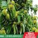 山东林泽苗木优质板栗苗板栗种植技术基地种植量大优惠