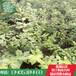 山东林泽园艺优质李子苗产量好易管理优质李子苗种植技艺