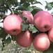 山东林泽苗木优质苹果苗苹果种植技术基地种植量大优惠