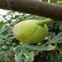 山东林泽苗木优质无花果苗无花果种植技术基地种植量大优惠图片