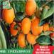 山东林泽苗木优质柿子苗柿子种植技术基地种植量大优惠