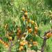 山东林泽苗木优质杏树苗杏树种植技术基地种植量大优惠