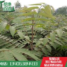 山东林泽苗木优质香椿苗香椿种植技术基地种植量大优惠图片