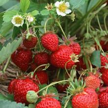 法兰地草莓苗批发基地法兰地草莓苗供应哪里便宜图片