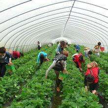 山东林泽苗木优质草莓苗草莓种植技术基地种植量大优惠