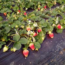 苗木种植基地优质草莓苗批发直销草莓种植技术量大优惠