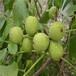 山东林泽苗木优质核桃苗核桃种植技术基地种植量大优惠