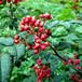 山东林泽苗木优质花椒苗花椒种植技术基地种植量大优惠