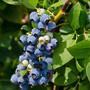 山东林泽苗木优质蓝莓苗蓝莓种植技术基地种植量大优惠图片