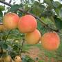 山东林泽苗木优质梨树苗梨树种植技术基地种植量大优惠图片
