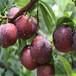 山东林泽苗木优质李子苗李子种植技术基地种植量大优惠