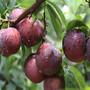 山东林泽苗木优质李子苗李子种植技术基地种植量大优惠图片
