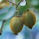 山东林泽苗木优质猕猴桃苗猕猴桃种植技术基地种植量大优惠