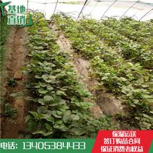 高州市草莓苗价格章姬草莓苗哪家质量好图片
