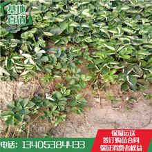 兴宁市草莓苗价格章姬草莓苗哪家便宜图片