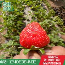 武江区草莓苗价格章姬草莓苗哪家质量好图片