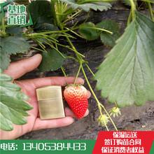 怀集草莓苗价格章姬草莓苗哪家质量好图片